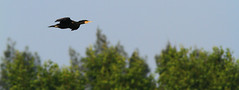 Flying Cormorant (P.C. Alice) Tags: blue sky plant bird nature hongkong flying 300mm wetland favorites15 2013 canonef300mmf4lisusm eos7d canoneos7d
