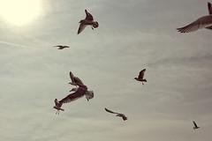 Just Some Seagulls (seegarysphotos) Tags: sun seagulls beach birds clouds happy seaside wings peace seagull joy feathers free peaceful serenity dreamy serene wish hazy beatiful dayout freeasabird garylewis skay seegarsyphotos