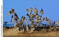 Cormorant Nests, Centre Island (jwvraets) Tags: birds cormorants nikon gimp deadtree lakeontario opensource droppings centreisland nests burlingtonbay nikkor70300mmvr d7100 rawtherapee beachstrip