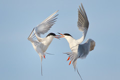 Bickering! (bmse) Tags: canon fight l f56 salah bolsachica 400mm terns forsters wingsinmotion 7d2 bmse baazizi