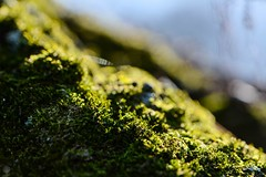 Quite Mossy (LauraJSwindle) Tags: trees sunset plants usa ny macro green nature botanical moss woods bokeh belmont earth 85mm blues macrophotography wantagh belmontstatepark nikond7100