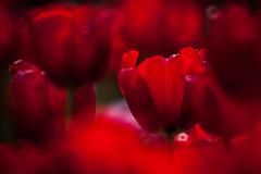 Hitachi Seaside Park 2016 #2 (kobaken++) Tags: park flower nature field japan canon lens eos seaside bright bokeh  5d  depth hitachi ibaraki markii   mark2    hitachinaka          kobaken