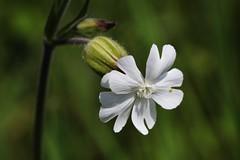 Wildflower (Hugo von Schreck) Tags: flower macro blume makro wildflower blte f13 wildblume tamron28300mmf3563divcpzda010 canoneos5dsr hugovonschreck