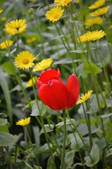 Red and Yellow (Neal D) Tags: flowers flower bc surrey tulip crescentbeach