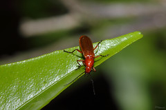 Bug (Franco Gavioli) Tags: macro bug sicily augusta sicilia francesco insetto 2016 gavioli canonef100mmf28macrousm fragavio canoneos600d yongnuoyn568exiiettl