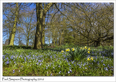 Siberian Squill (Paul Simpson Photography) Tags: flowers trees england sky flower nature woodland petals spring bloom daffodils naturephotography signsofspring siberiansquill beautifulnature springinengland photosof imageof flowerphotography flowersinbloom photoof springtimeinengland imagesof woodlandviews sonya77 paulsimpsonphotography viewsofengland april2016
