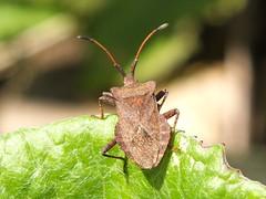 Dock Bug - Coreus marginatus (Fred's Uncle) Tags: bug insect sthelens dockbug