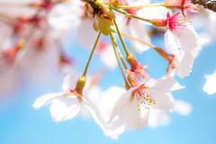 cherry blossoms  (hiroshi_arai) Tags: pink flowers flower macro nature canon pinkflower  cherryblossom cherryblossoms  macrolens 60d
