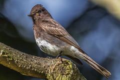 Black phoebe (bodro) Tags: birds manhattanbeach botanicalgarden blackphoebe polliwogpark