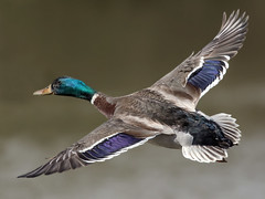 Mallard - Anas platyrhynchos (normanwest4tography) Tags: nature canon duck inflight sigma mallard waterfowl wildbirds aquaticbird sigma500f45 canon7d2