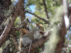 Red Pine Squirrel a (thepiper351) Tags: wild cute forest woodland spring woods scenery fuzzy maine adorable timberland tamiasciuris husdsonicus