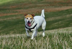 Jack Russell #7 (Dickie Imaging) Tags: uk dog scotland unitedkingdom canine terrier jackrussell yell shetland dickie gbr tingwall houster colindickie dickieimaging
