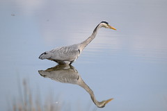 Grey Heron (Ardea cinerea) (sdflickr2) Tags: heron nature grey reserve attenborough nottinghamshire