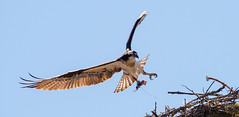 Balbuzard Pcheur - Osprey-51 (MichelGurin) Tags: ca  canada flower nature water fleur eau exterior qubec extrieur osprey pandionhaliaetus 2016 balbuzardpcheur grenvillesurlarouge michelgurin tousdroitsrservsallrightsreserved lightoomcc nikon200500mm nikond750qc