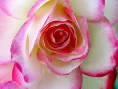 Georgia O'Keefe's Pink & White Petal Lips (chicbee04) Tags: pink roses arizona white macro canon erotic tucson pov side perspective shy front sensual alhambra rosegarden blushing sensuous georgiaokeeffe southwesternusa pinkandwhiteroses petallips powershotsx60hs verticallystackedroses