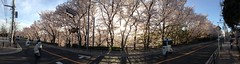 trees eat cars (troutfactory) Tags: panorama japan cherry spring blossoms   sakura osaka kansai  toyonaka   ipod5