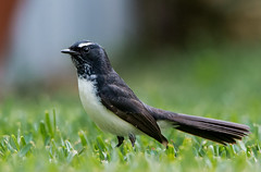 willie wagtail (blinsaff) Tags: bird nature birds animal nikon native wildlife australia willie tamron willy wagtail d600 150600mm