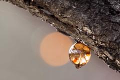 Sap 2016-03-30 (60D_0528) (ajhaysom) Tags: tree australia melbourne sap greenvale canoneos60d sigma150600 woodlandshistoricpark