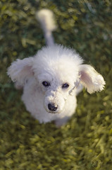 Pequea Kiah! (RYS ~ Photography) Tags: camera parque dog pet naturaleza white colour cute verde green love nature argentina animals photoshop garden toy happy photography photo nikon shoot foto photographer heart sweet bokeh amor perro domestic poodle canino animales nikkor f18 corazn mascotas fotgrafo fotografa cmara caniche hocico nikonista d5100