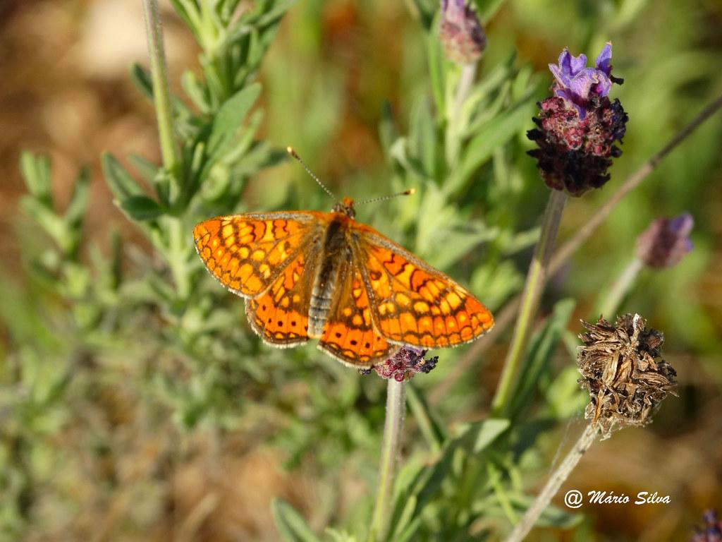 Águas Frias (Chaves) - ... borboleta ...