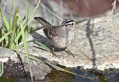 White-crowned Sparrow (Zonotrichia leucophrys); Catalina, AZ [Lou Feltz] [Lou Feltz] (deserttoad) Tags: park arizona plant tree bird nature desert wildlife sparrow wildbird
