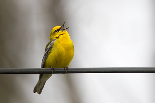 Blue-winged Warbler, Crooked Creek Road, Yellowwood State Forest, Brown County, Indiana, April 23, 2016