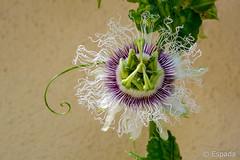 Passiflora edulis (espada100) Tags: flor passiflora pasion