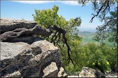 the crawling tree (mhobl) Tags: tree maroc baum fes therebinte