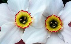 Fehr nrcisz pr (Van'elise) Tags: virg virgok fehr nrcisz kertben
