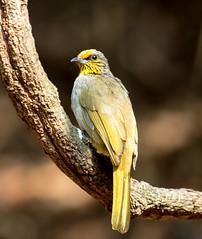IMG_1847  Stripe-throated Bulbul (ashahmtl) Tags: thailand songbird bulbul passerine stripethroatedbulbul pycnonotusfinlaysoni kaengkrachannationalpark phetchaburiprovince