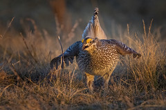 Sharptail Grouse (Peter Stahl Photography) Tags: male dancing grouse lek sharptailgrouse