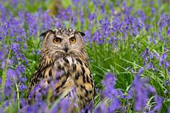 European eagle owl (hehaden) Tags: wood bluebells european surrey owl bwc bubobubo eagleowl lingfield britishwildlifecentre