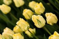 Misinterpreted (bprice0715) Tags: flowers macro green nature beautiful beauty yellow canon outdoors spring colorful tulips vibrant springtime naturephotography macrophotography beautyinnature canoneos5dmarkiii canon5dmarkiii