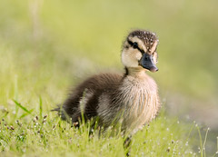 Baby Mallard _UDM7472 (dubrick321) Tags: nature outdoors duck wildlife mallard waterfowl floridawildlife babyduck babymallard ursuladubrickphotography babyduckcoveredinmorningdew