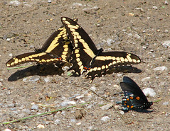 it's almost puddling time - Giant & Pipevine swallowtails (Vicki's Nature) Tags: black yellow canon georgia spring big stripes large ground spots april s5 pigeonmountain pipevineswallowtail puddling 4082 touchofred touchofblue vickisnature giantswallowtails
