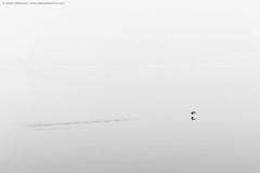 Up.. (TalesOfAldebaran) Tags: winter blackandwhite bw mist bird fog canon river landscape flying serbia zima sava waterscape srbija reka sabac ptica magla pejzaz 700d klenak