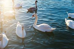 Saturday afternoon. (Hello i'm Wild !) Tags: blue light sunset reflection film nature water sunshine animal analog 35mm river swan waves dof lyon bokeh breathe canonae1 goldenhour lomographycolornegative400