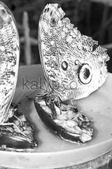 Giant Caligo, Owl Butterfly, Ecuador (kalypsoworldphotography) Tags: food brown macro eye southamerica animal closeup forest butterfly insect lunch ecuador amazon rainforest pattern darkness background leg wing large spot banana lepidoptera exotic jungle camouflage eyeball disguise sit owl tropical andes delicate behavior mimicry antenna liking cordillera andean cuyabeno amazonian invertebrate caligo amazonia yasuni crypsis hugeeyespot