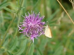 Purple Puffball (mdavidford) Tags: flower butterfly insect spiky purple dorchester smallskipper greaterknapweed thymelicussylvestris centaureascabiosa commonknapweed dykehills
