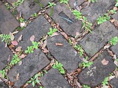 Zigzag sidewalk bricks with plants, leaves and acorns - New Orleans (Monceau) Tags: plants leaves neworleans bricks nola zigzag acorns thiswayandthat