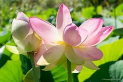 Nelumbo Nucifera, Sacred Lotus (Sharon Wills) Tags: flowers plants plant flower macro nature flora nikon waterlily lotus sacred herb nelumbo nelumbonucifera nucifera adelaidebotanicgardens d7100 nelumbopond