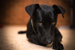 Melon (Glen Turns) Tags: dog black colour dogs puppy eyes labrador