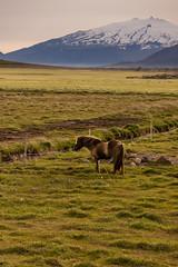 Junto al volcn (Lou Rouge) Tags: horse animal landscape caballo iceland islandia glacier snfellsjkull snfellsnes volcn stratovolcano icelandichorse lsuhll