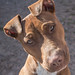"Pitbull • <a style=""font-size:0.8em;"" href=""http://www.flickr.com/photos/126020042@N08/24173193599/"" target=""_blank"">View on Flickr</a>"