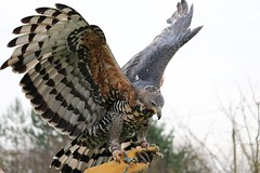 african hawk eagle (aaron19882010) Tags: brown white bird monster canon outside outdoors grey flying wings blind eagle hawk african wildlife killer glove prey handler 750d