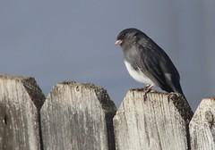 Dark Eyed Junco (Quistian) Tags: bird canon junco nj rps 2016 scotchplains wilks t5i 201602 20160206