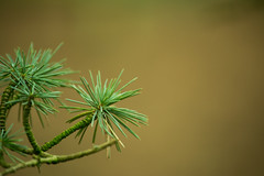 20160116-27_Coombe Country Park_Pine Needles Rossette (gary.hadden) Tags: trees pine bokeh needles simple minimalist conifer coombeabbey coombecountrypark coombepark