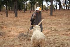 Herder and his special sheep (Khoiti) Tags: sheep maseru