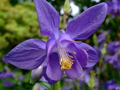 Aquilegia (yewchan) Tags: flowers flower nature colors beautiful beauty closeup garden flora colours gardening vibrant blossoms aquilegia columbine blooms lovely grandmasbonnet