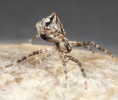 Spider (Episinus sp.) (iainrmacaulay) Tags: spider australia episinus